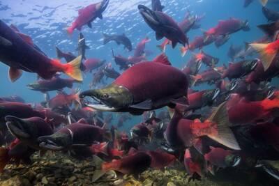 above iliamna salmon run 2015 jason ching close up 2