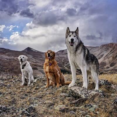 loki the wolfdog friends