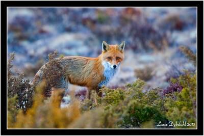 fox lasse dybdahl white moose
