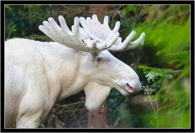 white moose close up lasse dybdahl
