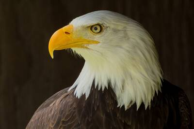 watch bald eagles live