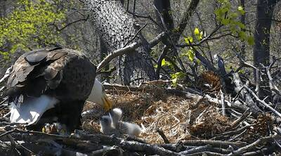 watch bald eagles live mr. president first lady washington d.c.
